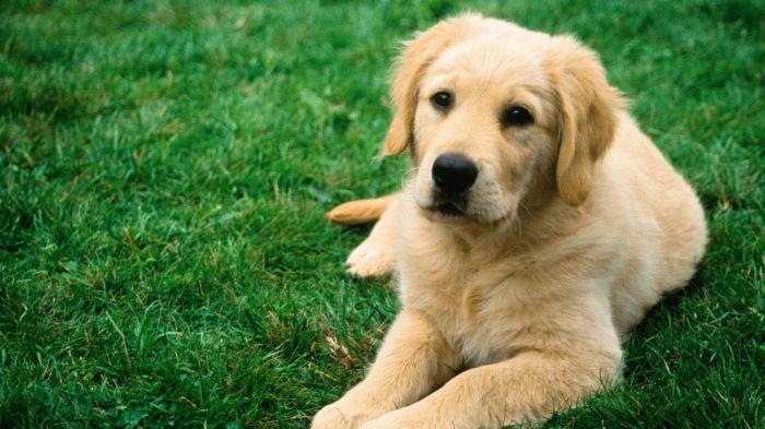 2560x1440_fond-ecran-animaux-chiens-639